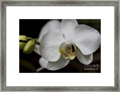 Symphony White Orchid Framed Print by Meg Rousher