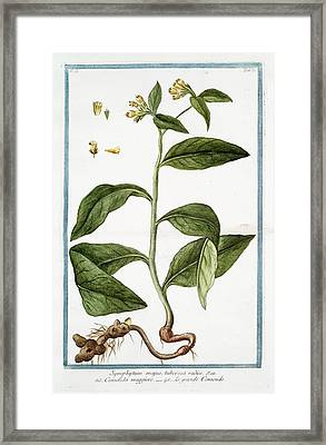 Symphytum Majus Framed Print by Rare Book Division/new York Public Library