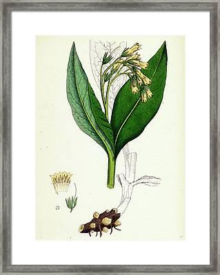 Symphytum Tuberosum Tuberous Comfrey Framed Print