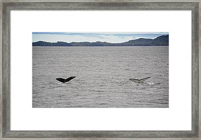 Humpback Whale Tails Framed Print by Mary Lee Dereske