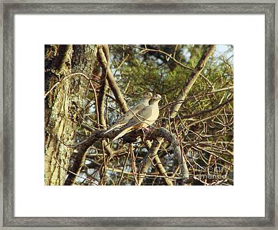 Synchronized Mourning Doves Framed Print by Timothy Connard