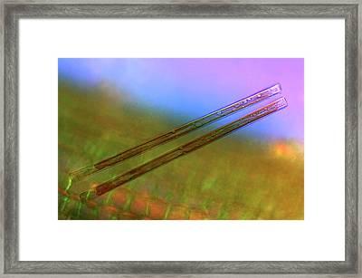 Synedra Diatoms Framed Print