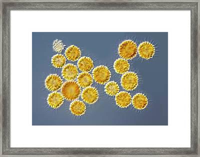 Synura Algal Bloom Framed Print by Gerd Guenther