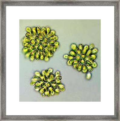 Synura Golden Algae Framed Print