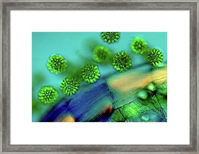 Synurid Algae Framed Print