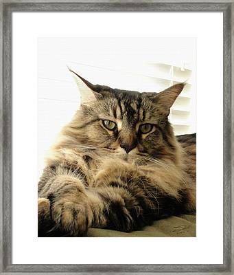 Tabby Coon Framed Print