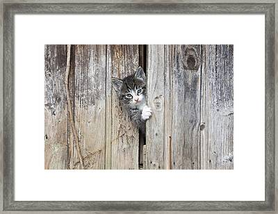 Tabby Kitten Peering From Shed Framed Print by Duncan Usher