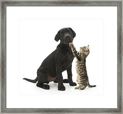 Tabby Male Kitten & Black Labrador Framed Print by Mark Taylor