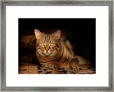 Tabby Tiger Cat Framed Print by Renee Forth-Fukumoto