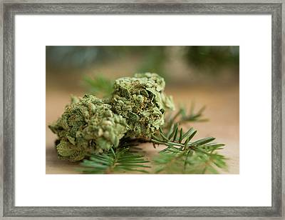 Table Top With The Jack Herer Strain Framed Print by Stock Pot Images