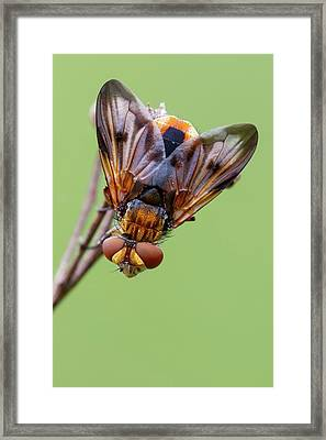 Tachinid Fly Framed Print