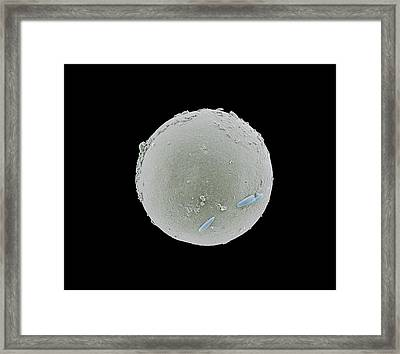 Tadpole Shrimp Egg Framed Print by Petr Jan Juracka
