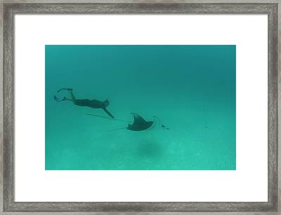 Tagging A Manta Ray Framed Print by Scubazoo