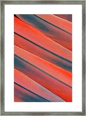 Tail Feather Pattern Scarlet Macaw Framed Print by Darrell Gulin
