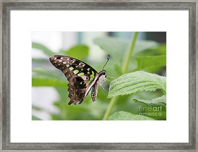 Tailed Jay Butterfly #3 Framed Print