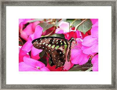 Tailed Jay Butterfly #4 Framed Print