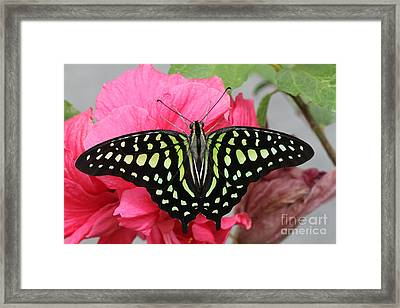 Framed Print featuring the photograph Tailed Jay Butterfly #6 by Judy Whitton