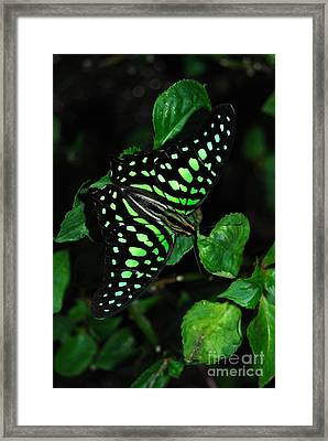 Framed Print featuring the photograph Tailed Jay Butterfly by Eva Kaufman