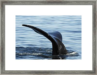 Tailfin Of Southern Right Whale In Water Framed Print by Sami Sarkis