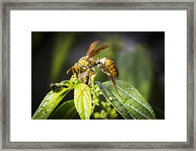 Taiwan Hornet Feeding On A Caterpillar Framed Print by Science Photo Library