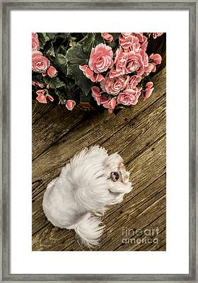 Havanese Puppy Framed Print by Charlie Cliques