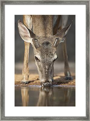 Taking A Drink Framed Print by Anita Oakley