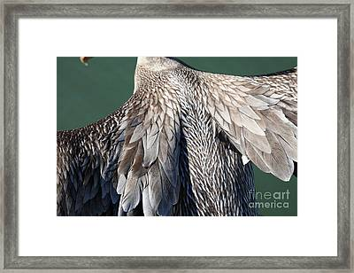 Taking Flight With A Brown Pelican 5d21703 Framed Print by Wingsdomain Art and Photography
