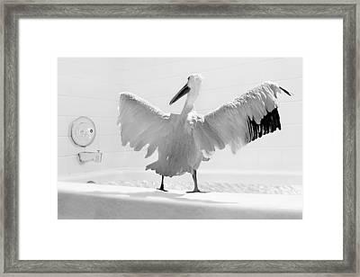 Taking The Plunge - Pelican - Bathroom Framed Print by Nikolyn McDonald