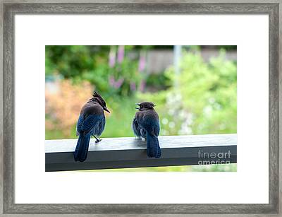 Talking Jays Framed Print