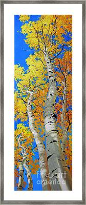 Tall Aspen Trees Framed Print by Gary Kim