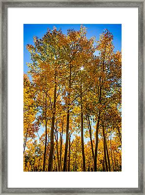 Tall Aspen With Sunstar Framed Print