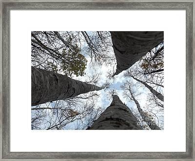 Tall Birches Framed Print by Erick Schmidt