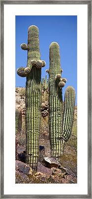 Tall Cacti Framed Print by Kelley King
