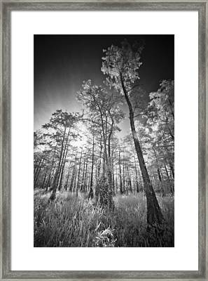 Tall Cypress Trees Framed Print