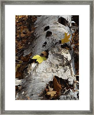 Tall Fallen Birch With Leaves Framed Print