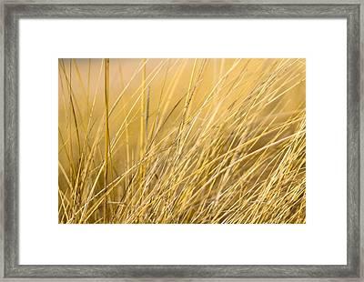 Tall Golden Grass Framed Print