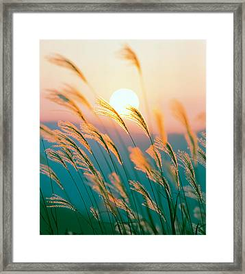 Tall Grass With Sunset In Background Framed Print by Panoramic Images