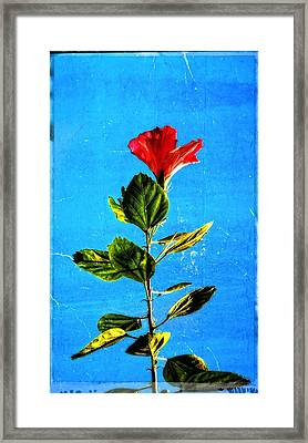 Tall Hibiscus - Flower Art By Sharon Cummings Framed Print