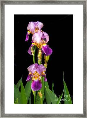 Tall Iris Framed Print by Robert Bales