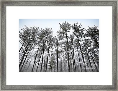Tall Snow Covered Trees Framed Print by Sharon Dominick