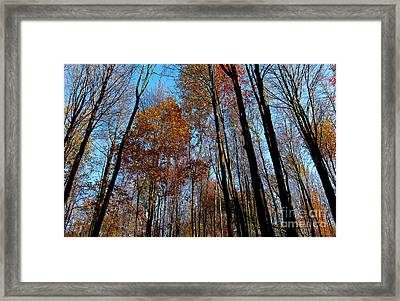 Tall Trees Autumn 2011 Framed Print by Tina M Wenger