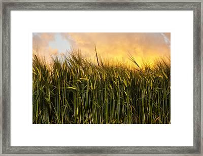 Tall Wheat Framed Print by Svetlana Sewell