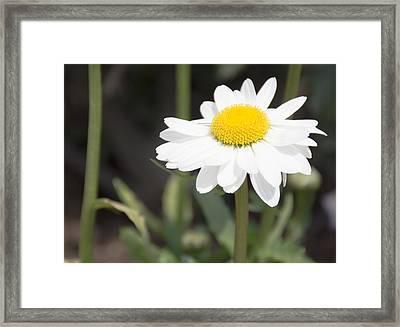 Tall White Gerbera Daisy Framed Print by Priyanka Ravi