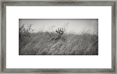 Tallgrass Whitetail Framed Print