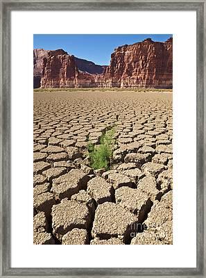 Tamarisk In Dry Colorado River Framed Print by Yva Momatiuk John Eastcott