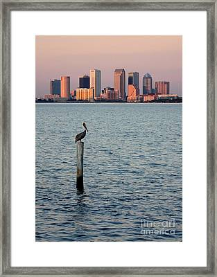 Tampa Skyline And Pelican Framed Print by Carol Groenen