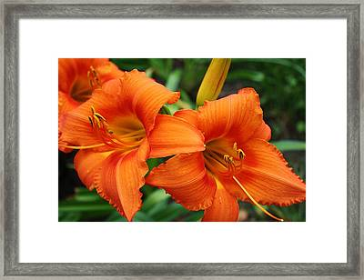Tangerine Lush Daylily 2 Framed Print by Bruce Bley