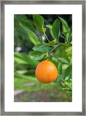 Tangerine, New Smyrna Beach, Florida Framed Print