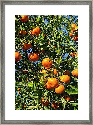 Tangerine Tree In Orange Grove Framed Print by Larry Ditto