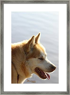 Tanka - Husky Framed Print by EricaMaxine  Price